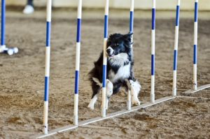 Agility - WNC Agriculture Center